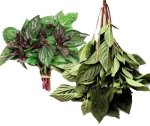 Thai Holy basil is used in many types of dishes including curries, soups, stir-fries, and salads.