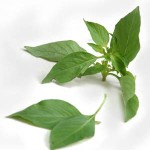 Lemon basil is used in some very specific Thai dishes including khanom chin nam ya.